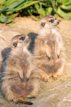 suricate: Two Meerkat (suricate) standing Stock Photo