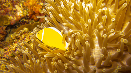 Yellow fish swimming in anemone