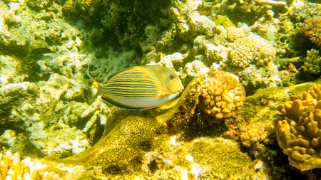 yellow green fish swims by corals in the sea