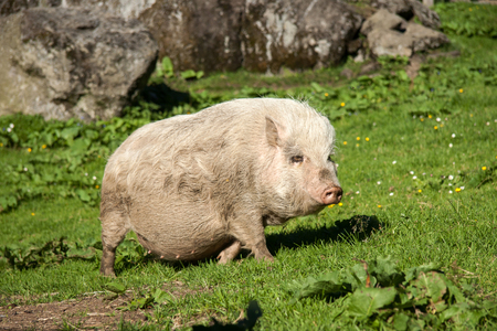 White pig walking on green grass outdoor
