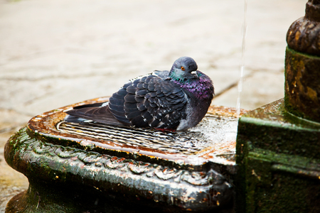 Black purple dove is bathing in a fountain