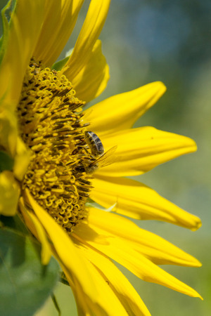 sunflower and bee in the sun, bright colors Stockfoto