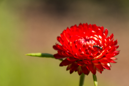 red flower with an ant and a natural background