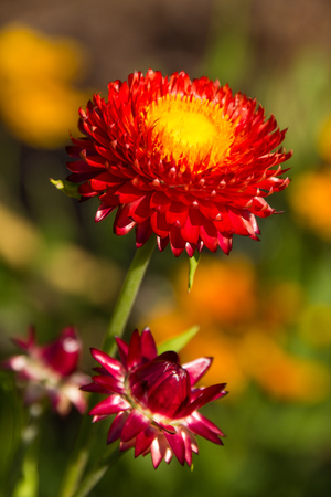 Red yellow flower in the sun, very natural and colorful Stockfoto - 102545184