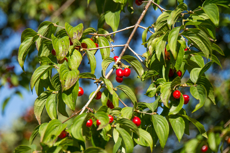 red berries with green leaves in the sun Stockfoto