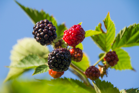 Rubus idaeus, raspberries natural with blue sky