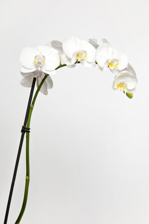 white orchid on white background Stockfoto