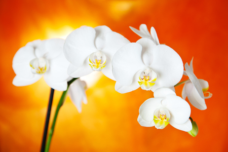 white orchid bloom on orange background Stockfoto