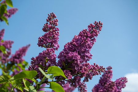lilac blossom of a tree in the garden