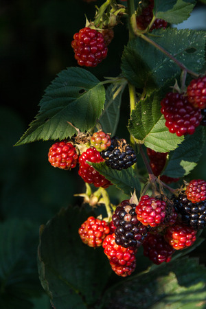 raspberry bush red and black in twilight with leaves