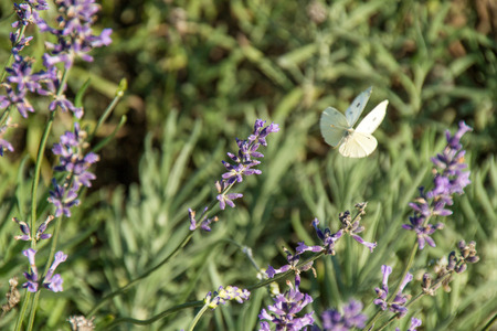 white butterfly with black spot flowing on purple lavender Stockfoto - 102545169