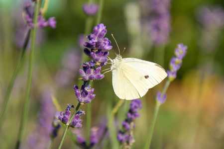 white butterfly with black spot on purple lavender Stockfoto