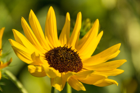 beautiful sunflower close up in the sun, helianthos Stockfoto