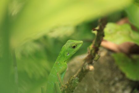 Crested Green Lizard, Borneo Island