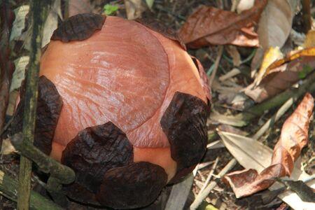 Rafflesia The largest flower in the world, Borneo island