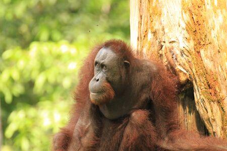 Orangutan at the Sepilok Orangutan Center in Borneo