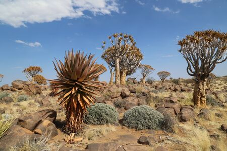 Quiver trees of the Kalahari Desert in Namibia