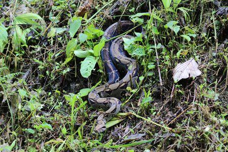 Boa Constrictor Imperator, Costa Rica
