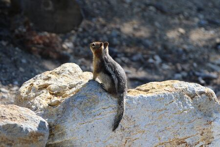 Golden- Mantled ground squirrel at Yellowstone National park 版權商用圖片 - 143302439