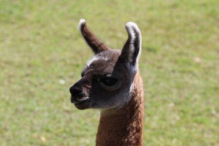 Llama in the field near Machu Pichu City