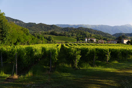 View of the hills of Prosecco vineyards in the Conegliano countryside 写真素材 - 151073678
