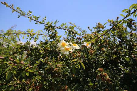 Wild roses in the Boboli Gardens in Florence
