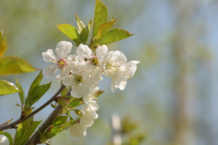 The flowers of the pear tree Imagens