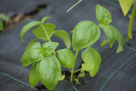 Basil grown in a greenhouse
