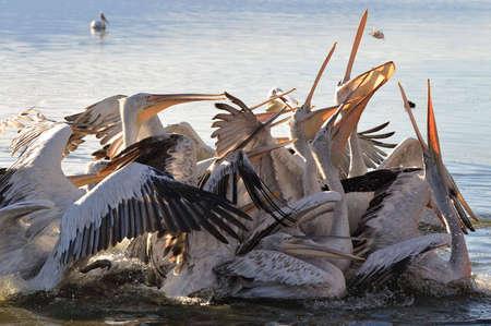 feeding of pelicans