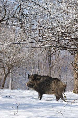 wildschwein: Wildschwein im winter