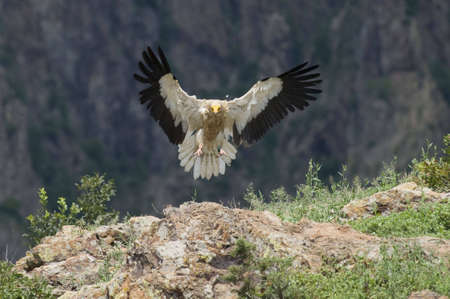 Egyptian Vulture Stock Photo