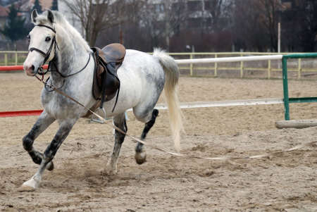 horse running with saddle  photo