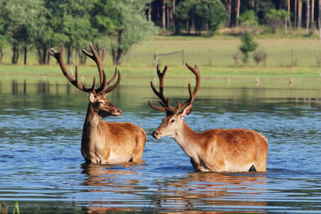 Deer in water  photo