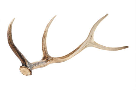 antlers on white background  Stock Photo