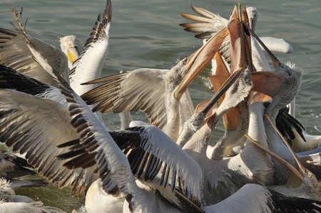 fracas: pelicans