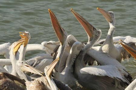 discord: Pelicans in water  Stock Photo