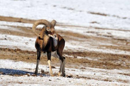 mouflon with large horns