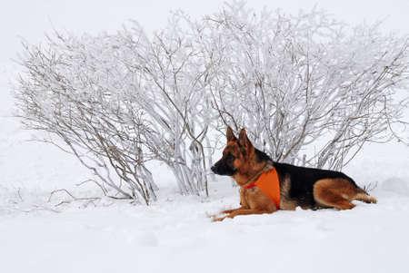 pastor de ovejas: perro de rescate