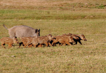 wild boar with young  Stock Photo