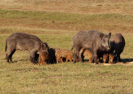wild boar with young Stock Photo - 13150622