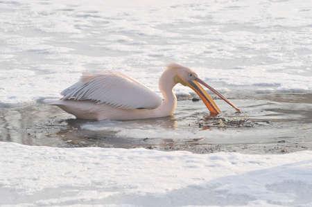 pink pelican in winter