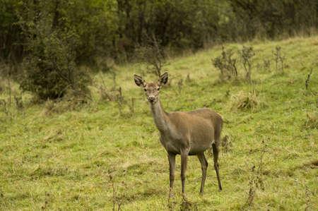 deer roe  Stock Photo