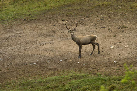 red deer with large horns