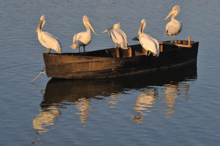 feathered: pelican rests on boat Stock Photo