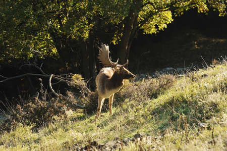 fallow deer with large horns Stock Photo