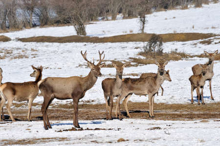 deer and hind in winter  Stock Photo - 13203211