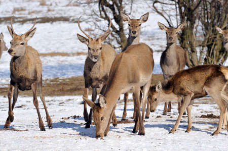 deer and hind in winter  photo