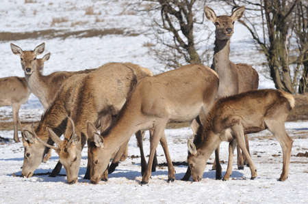 deer and hind in winter Stock Photo - 13203206