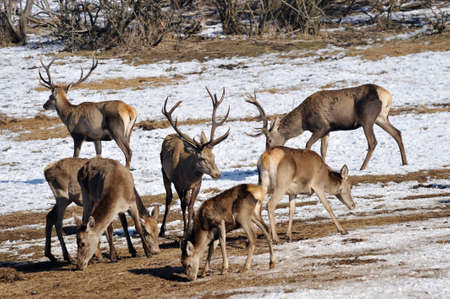 deer and hind in winter