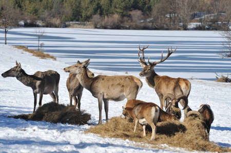 deer in winter  photo